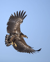 White-Tailed Eagle (peterspencer49) Tags: peterspencer peterspencer49 eagle whitetailedeagle raptor bird birdofprey