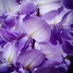 Purple Wisteria (missgeok) Tags: wisteria purplepetals purple flowers macro closeup pretty beautiful springflowers sydney australia fillthepage composition