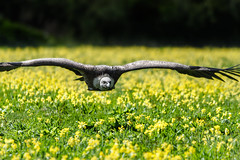griffon gold (jeff.white18) Tags: griffonvulture vulture flight nikon wings nature feathers flowers flickr