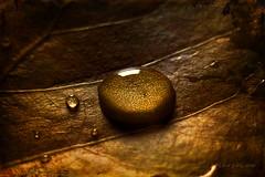 Golden Season ... (MargoLuc) Tags: autumn golden leaf soft light droplets nature september