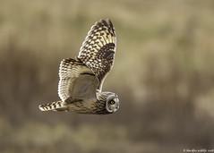 baby come back (blackfox wildlife and nature imaging) Tags: canon 1dmkiii sigma150600mmossport shortearedowl raptor birdsofprey owls deeestuary wirral