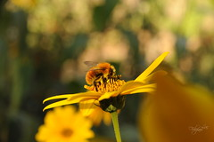 Topinambourg mon amour (luc.feliziani) Tags: bombus sunflower tuscany umbria italy bokeh honey giallo verde nature open outdoor autumn yelow spring polen