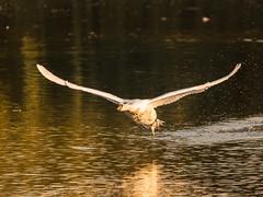 Schwan beim Start (siegmarkälberer) Tags: schwan vogel natur herbst wasservogel