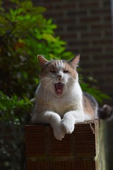 """""""Modeling is so tiring."""" --Gracie Jo (rootcrop54) Tags: graciejo neighbor neighbors female dilute calico friend brickwall neko macska kedi 猫 kočka kissa γάτα köttur kucing gatto 고양이 kaķis katė katt katze katzen kot кошка mačka gatos maček kitteh chat ネコ"""