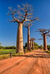Allee des Baobabs (Rod Waddington) Tags: madagascar malagasy allee alley des baobabs landscape road trees nature children people avenue