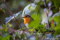 Pettirosso (Castello foto) Tags: bird red pettirosso uccello cespuglio wildlife wildphotography