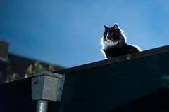Cinematic Cat (Roderick van der Steen) Tags: sonyalpha sonya7s zeissmilvus50mmf14distagon zeiss milvus1450 zf2 mainecoon novoflex night nightlife backlit noflash high iso blue