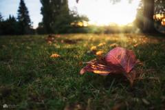 Autumn lowdown... (Kerriemeister) Tags: sunset golden hour leaf autumn pov low colour sunrays nikon d5300 leaves perspective