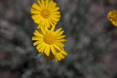 2015 - Texas (Mark Bayes Photography) Tags: bigbendnationalpark texas usa unitedstates chihuahuandesert brewstercounty nationalparkservice americannationalpark westtexas borderingmexico park yellow
