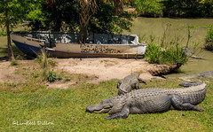 Boat ride? (Lindell Dillon) Tags: alligator herps reptile nature alabama alligatoralley