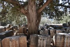 DSC_9612 (Kent MacElwee) Tags: greece delphi europe mountparnassus sanctuaryofathenapronaia athena goddess greekmythology archaeologicalsite ancient historic ruins archaeology tree 4thcenturybc delphoi