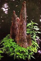 "Cincinnati - Spring Grove Cemetery & Arboretum ""Cypress Tree Knee - All Dressed Up"" (David Paul Ohmer) Tags: cincinnati ohio spring grove cemetery arboretum cypress tree knee flare ceder lake"
