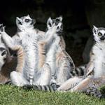 A group of lemurs thumbnail