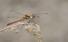 Große Heidelibelle (Sympetrum striolatum) 7829 (fotoflick65) Tags: libelle heidelibelle grose sympetrum striolatum fotoflick65 leopold kepplinger dragonfly common darter st320 iso220 iso200400 f11 fd3m5 fd2b5 flash godoxtt685n d7100 y2018 ym08 ta150600 tamronsp150600mmf563divcusdg2 tamronspaf150600mmf563divcusd groslibelle segellibelle closeup nahaufnahme 1610 ds bof nikonnaturephotography insekt insect ngc specinsect