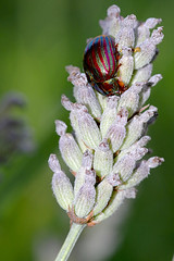 Chrysolina cerealis Rainbow Leaf beetle on lavender (SpaceCadetTaylor) Tags: chrysolina cerealis rainbow leaf beetle lavender rare macro close up nature insect bug