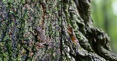 Arboretum resident (marianna_armata) Tags: tree frog springpeeper treefrog amphibian camouflage mariannaarmata p2740557