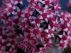 Hylotelephium 'Seduction Brown Red' (Nessy apprentie en rangement) Tags: hylotelephium sedum crassulaceae succulent agl
