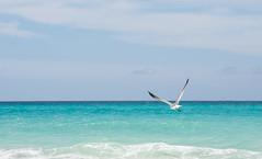 Playa de Varadero (rfabregat) Tags: varadero playa beach seagull coast island cuba caribe caribbean atlantic oceano ocean blue landscape travel nikon nikond750 d750
