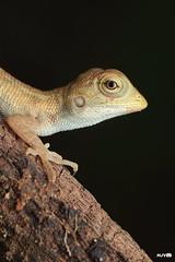 Oriental Garden lizard (juvenile) (harshithjv) Tags: reptile lizard calotes versicolor orientalgardenlizard gardenlizard bloodsucker reptilia squamata iguania agamidae canon 80d tamron macro 90mm godox raynox