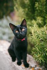 Little wanderer (desomnis) Tags: cat kitten animal croatia bokeh 35mm sigma35mm sigma35mmf14dghsmart sigma35mmf14 sigma35mmf14art 6d canon6d canoneos6d desomnis dof depthoffield blackcat