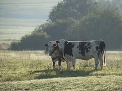 Montbéliardes *** (Titole) Tags: montbéliarde cow vaches titole nicolefaton mist jura farmanimal rural thechallengefactory storybookwinner
