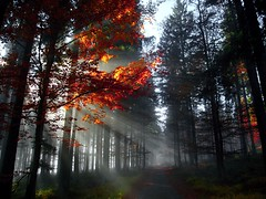 The light in the morning forest (Yirka51) Tags: wood treeroot tree sunlight silhouette showthrough shadow scenery plant needles mist misty light leaves green grass forest fog fall colored color bush autumn