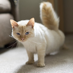 Stretching Legs and Tail (vtom61) Tags: sonya7riii sonyzeissfe55mm18 cat white cream