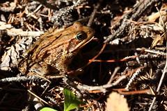 Cascades Frog or Red-legged Frog (jlcummins - Washington State) Tags: redleggedfrog frog americanriver yakimacounty ranaaurora nature fantasticnature