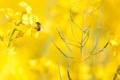 _DSC1013 (gael.lebrun56) Tags: fleur colza rape beez flower macro insect