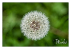 I just grew old (Bob Geilings) Tags: dandelion macro closeup flora nature bokeh background