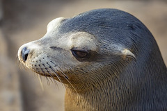 18A_1515 (Mark Ritter) Tags: seal seals macro lajolla california