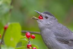 Gulp!!! (ThruKurtsLens.com) Tags: 2018 kurtwecker nature naturephotographer thrukurtslenscom wildlife wildlifephotographer wildlifephotography