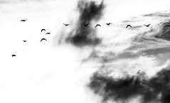 fly south (Fearghàl Nessbank) Tags: nikon d700 blackwhite art nature birds autumn