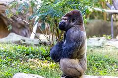 Zooatlanta21Oct2018571.jpg (fredstrobel) Tags: gorrilla wildanimals mammals atlanta animals usa zooatlanta places ga georgia unitedstates us