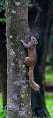 Brown Squirrel (_raiyan_) Tags: fauna bangladesh 2017