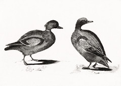 Ducks by Johan Teyler (1648-1709). Original from the Rijks Museum. Digitally enhanced by rawpixel. (Free Public Domain Illustrations by rawpixel) Tags: otherkeywords animal antique art avian beak beautiful bird black breed claw couple decoration decorative design drawing duck fauna feather feathers fowl grey illustrated illustration johanteyler life mallard name nature old ornithology painting perched plumage plume portrait poultry quack retro species stand standing style tail trait two vintage waterbird wild wildlife wing wings