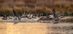 D4S_6838-2 (Bartek Olszewski) Tags: deer ducks birds bird wildlife wild wood water woods wings nature nikon nikond4s natureza