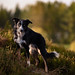 38/52 Frisbee (Helle Lindholm Larsen) Tags: dog bordercollie outdoor 52weekesfordogs frisbee