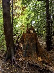 What tree was that? (Tony Tomlin) Tags: whiterockbc britishcolumbia canada forest trees stump