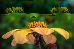 Nature,s Magic. (Omygodtom) Tags: nature natural fuzzy existinglight macro bokeh dof flower flora flickriver diamond nikon nikkor 7dwf