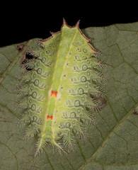 Crowned Slug Moth (drkilmer) Tags: frederick maryland unitedstates us