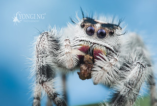 Sweet-looking snow-white Phidippus regius female
