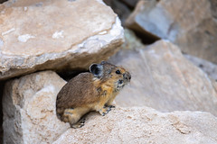 Pika on a Rock (mstrozewski1) Tags: photography nature utah animal wildlife pika rock black white tan orange brown