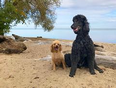 6260 (Jean Arf) Tags: dusty nash poodle dog standardpoodle miniaturepoodle autumn 2018 rochester ny newyork ontario lake greatlake