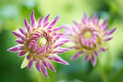 dahlia 1877 (junjiaoyama) Tags: japan flower dahlia plant autumn fall pink bokeh macro
