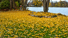 So why do they call it ''Fall'' ?? 😎 (Bob's Digital Eye) Tags: autumn autumncolour autumnleaves bobsdigitaleye canon efs1855mmf3556isll fall fallleaves flicker flickr garden leaves october2018 t3i yellow