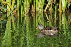 K32P7652c Gadwall, Lackford Lakes, September 2018 (bobchappell55) Tags: lackfordlakes suffolk bird wild nature wildlife water gadwall anasstrepera