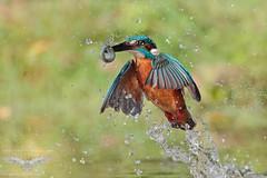 Emersione... Martin Pescatore (C.PEDRIALI 75) Tags: kingfisher martin pescatore nature wild birds bird uccello