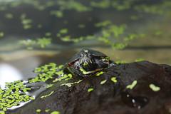 Eastern Painted Turlte (Chrysemys picta picta) (huwngddinh) Tags: eastern painted turtle easternpaintedturle chrysemys picta turlte easternpaintedturlte chrysemyspictapicta