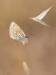 Common Blue (chaz jackson) Tags: commonblue polyommatusicarus lycaenidae butterfly insect blue macedonia macro